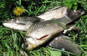 Памятка рыболову: когда, где и как ловить карася