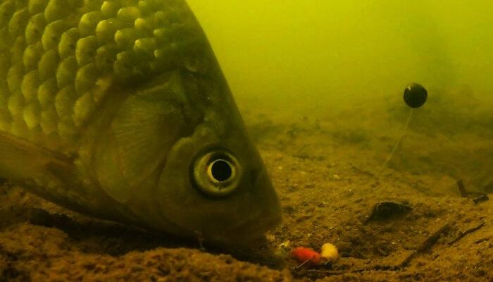 видео поклевки карпа под водой видео