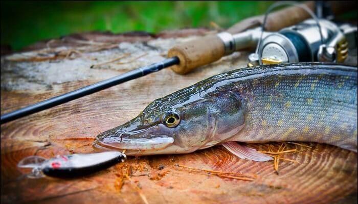 Ловля щуки в сентябре: где, как и на что рыбачить