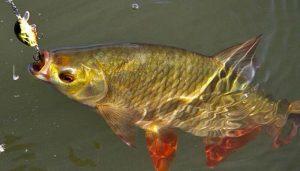 Календарь рыбака на 3-10 октября: ловля карася, красноперки и судака