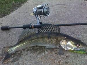 Когда ловить судака на спиннинг