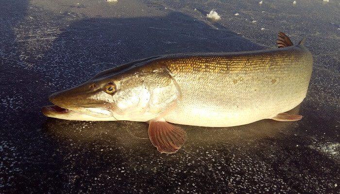 Календарь рыбака на 1-5 декабря: ловля судака, щуки и окуня