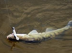 пшено для ловли рыбы