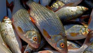 Плотва в ноябре: повадки рыбы и особенности оснастки