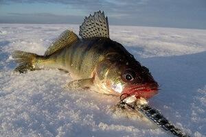 Календарь рыбака на 5-11 декабря: как и на что ловить судака