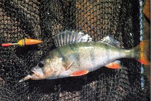Календарь рыбака на 5-11 декабря: как и на что ловить окуня