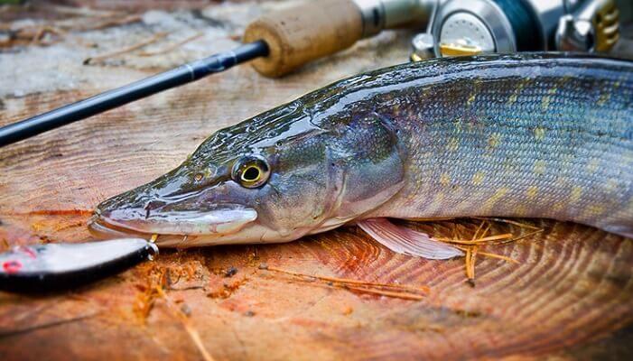 Календарь рыбака на неделю 18-24 декабря Щука в декабре по открытой воде: выбор места ловли и оснастки