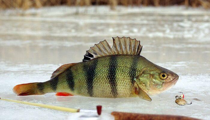 Зимняя рыбалка на окуня: где, когда и как ловить