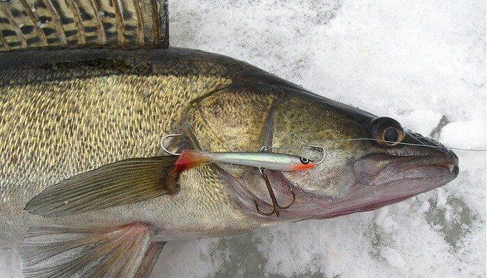 Календарь рыбака на 26-31 декабря: секреты ловли хищников