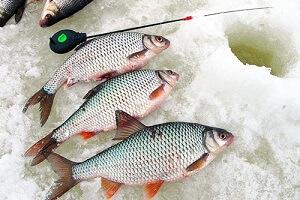 Календарь рыбака 23-31 января: советы по ловле плотвы
