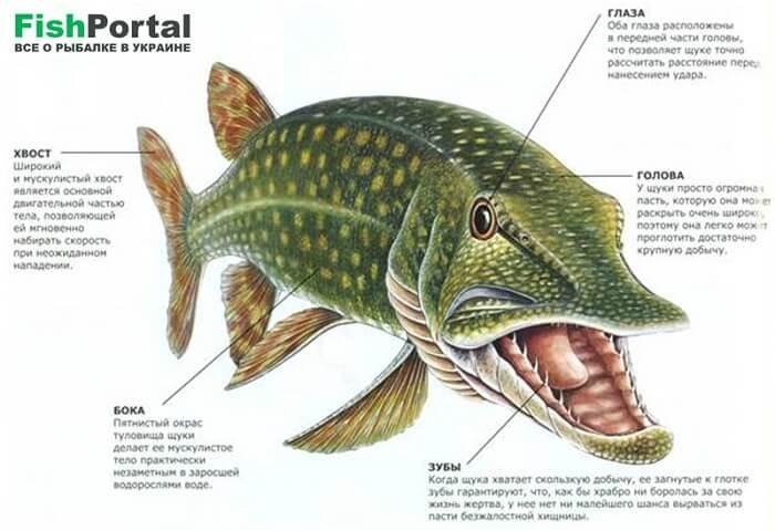 Щука: отличительные особенности рыбы