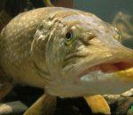 Щука: отличительные особенности и места обитания рыбы