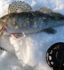 Судак в январе: повадки и особенности ловли
