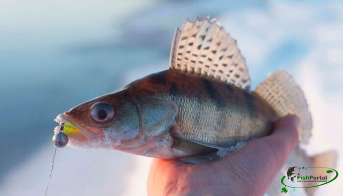 Календарь рыбака на 1-6 февраля: советы по ловле густеры, окуня и судака