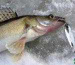 Ловля судака зимой на блесну: особенности оснастки и техники ужения