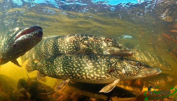Лунный календарь рыболова на 24-30 апреля: ловля щуки и голавля