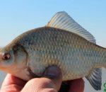 Карась в июне: сезонные повадки и советы по успешной ловле