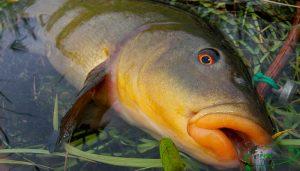 Линь в июле и рыболовный календарь
