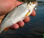 Плотва летом: сезонные повадки и условия успешной ловли