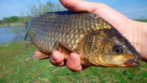Карась в августе и прогнозы рыболовного календаря
