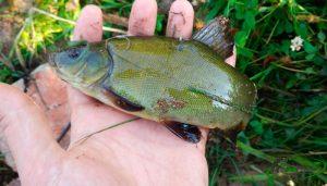 Линь в августе и календарь рыболова