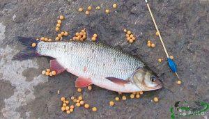 Ловля язя в августе и прогнозы календаря рыболова