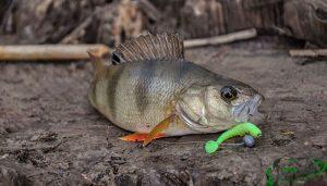 Ловля окуня в августе по рыболовному календарю