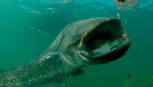 Сом в августе и прогнозы рыбацкого календаря