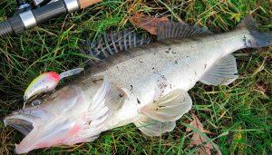 Судак в августе и прогнозы рыболовного календаря