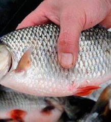 Плотва в январе по открытой воде: где и какими снастями ловить