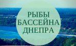 Рыбы Днепра: наибольшая длина и наибольший вес (видео)